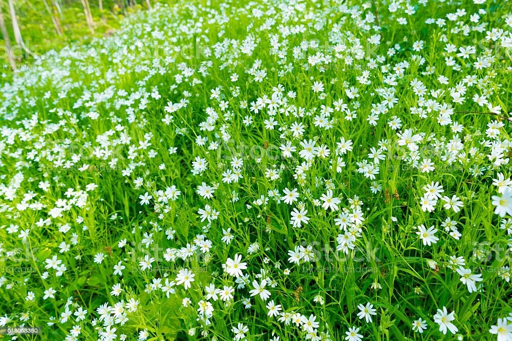 small white flowers in spring forest, cerastium arvense stock photo
