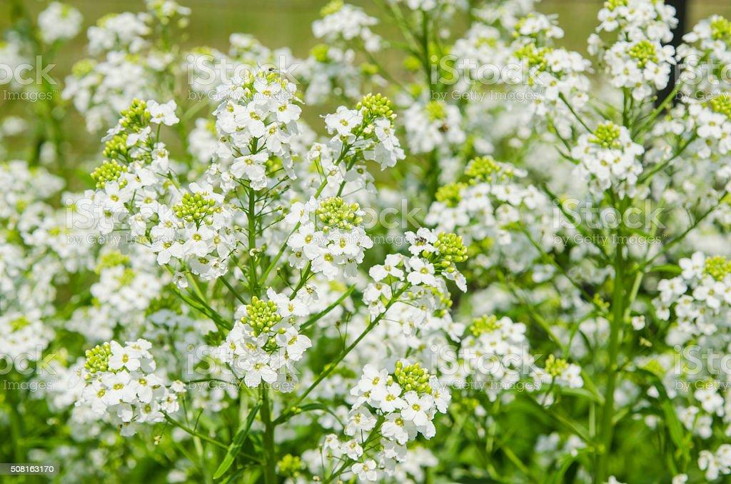 Small white flowers of horseradish, close-up stock photo