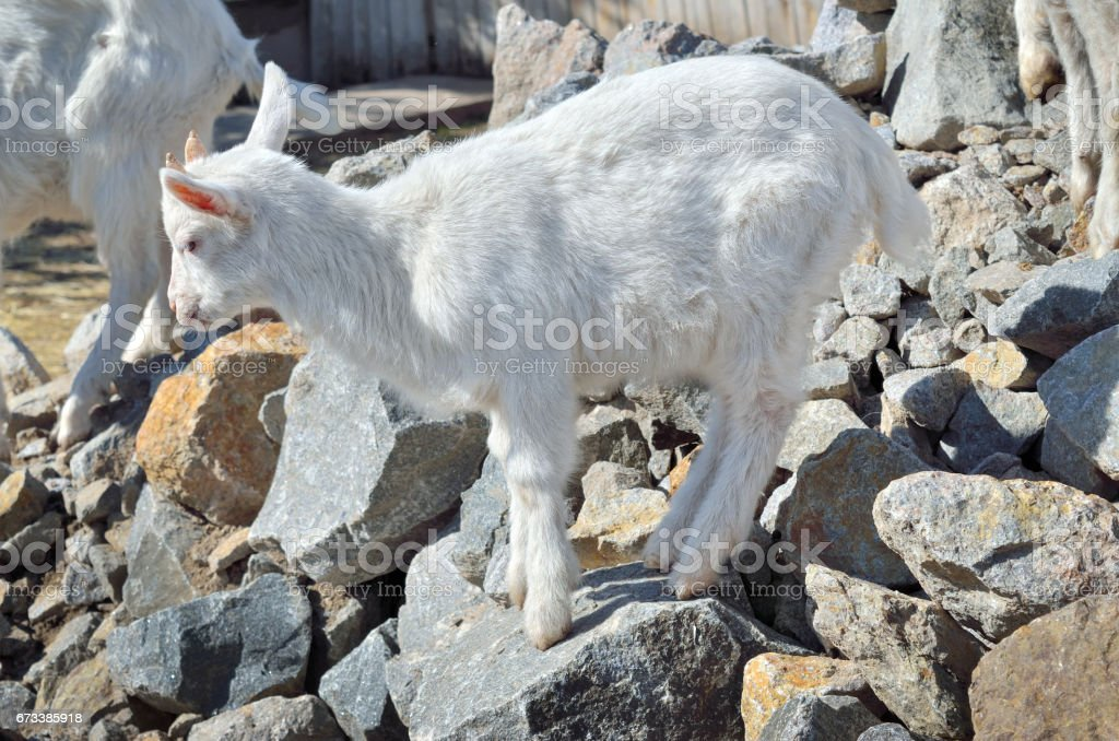 A small white goat is standing on stones stock photo