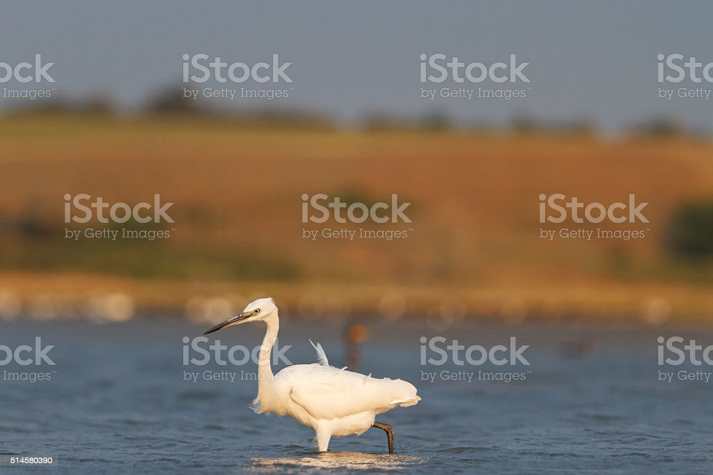 Small white heron in search of fish stock photo