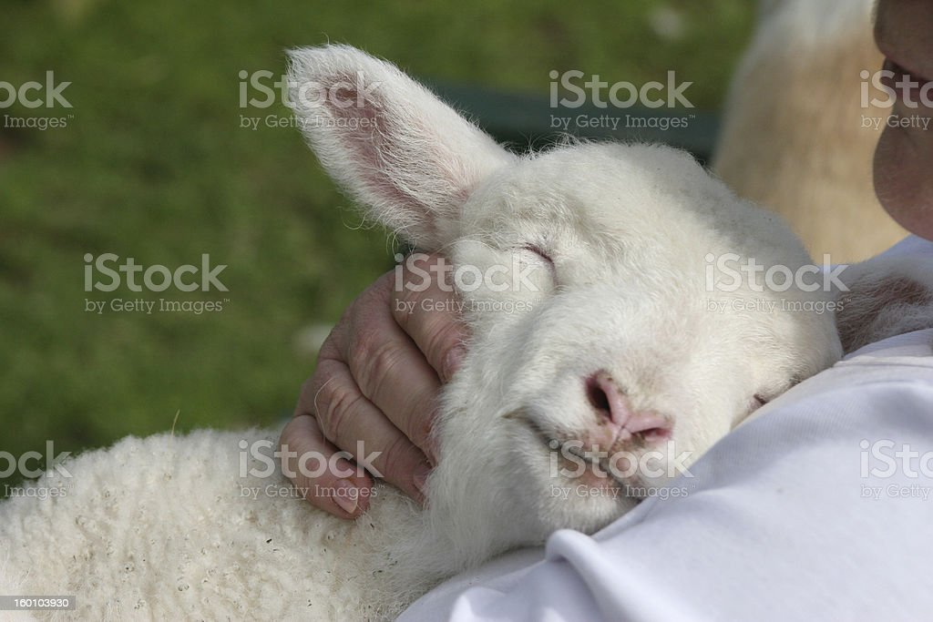 Small white lamb lay against a mans chest stock photo