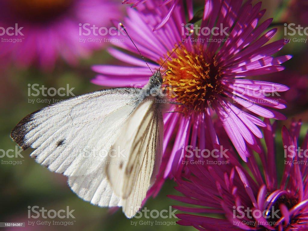 Small White (Pieris rapae), male stock photo