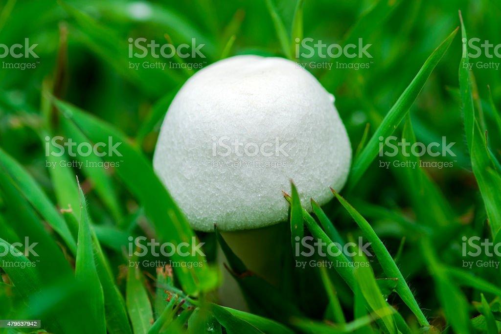 Small white mushroom stock photo