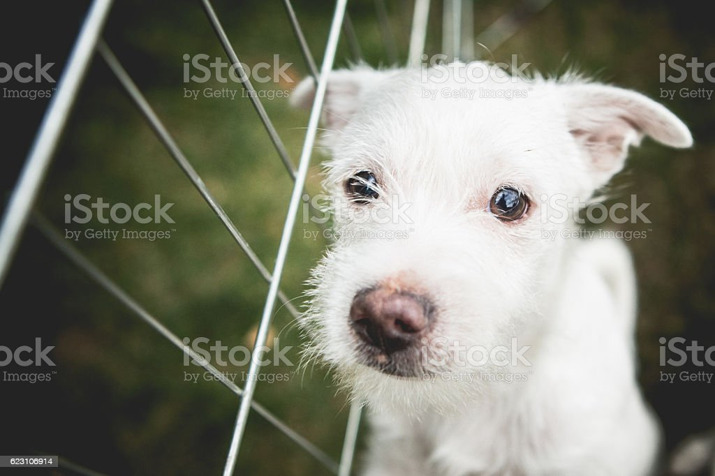 Small White Shelter Dog Terrier Mix stock photo