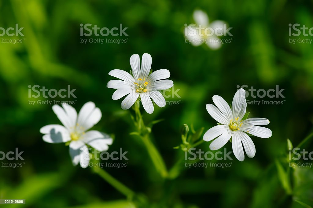 Small white spring flowers stock photo