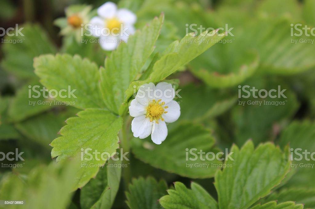Small white wild strawberry flowers in garden stock photo