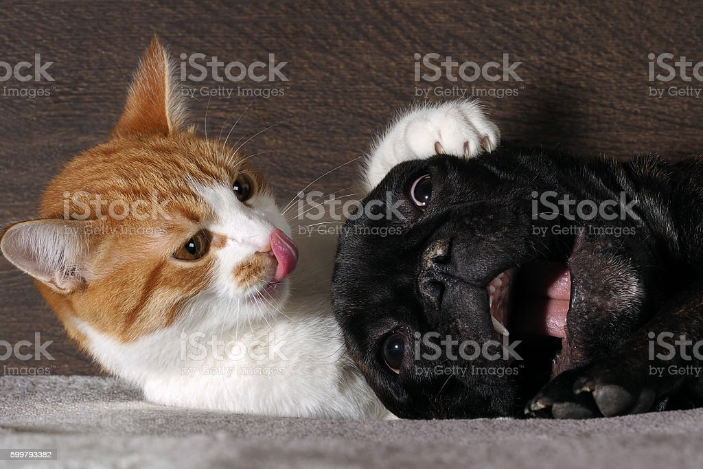 Small white-and-red cat and a huge black dog stock photo