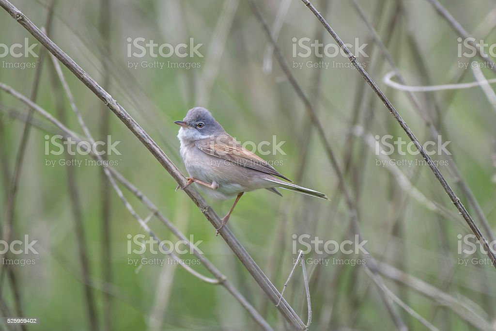 Small Whitethroat Bird stock photo
