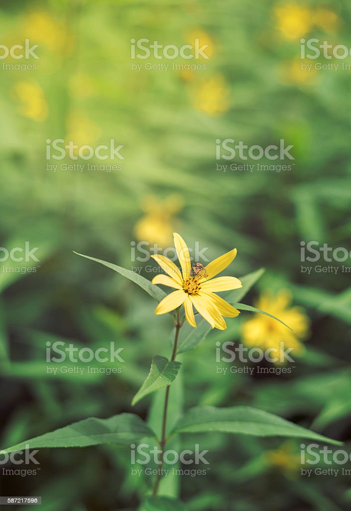 small woodland sunflower isolated in nature stock photo