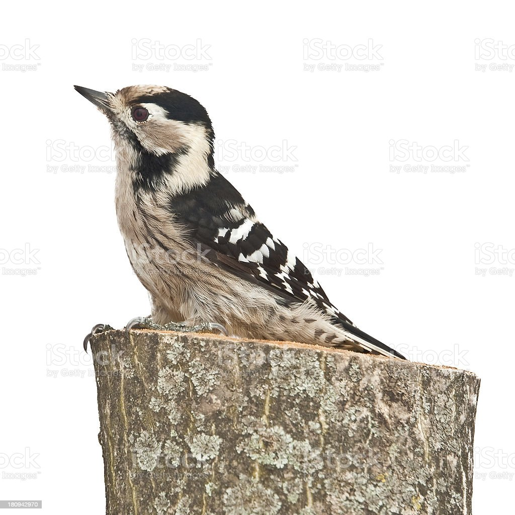 small woodpecker, female stock photo
