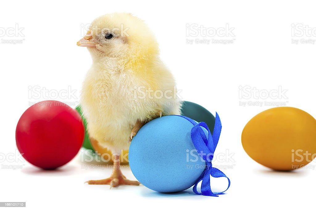 small yellow chick with easter eggs. isolated royalty-free stock photo
