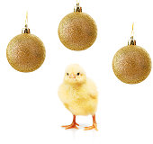 Small yellow chicken and gold christmas balls isolated on white