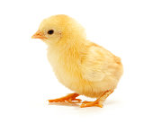 Small yellow chickens on a white background.
