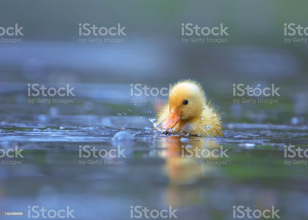 A small yellow ducking swimming in water stock photo