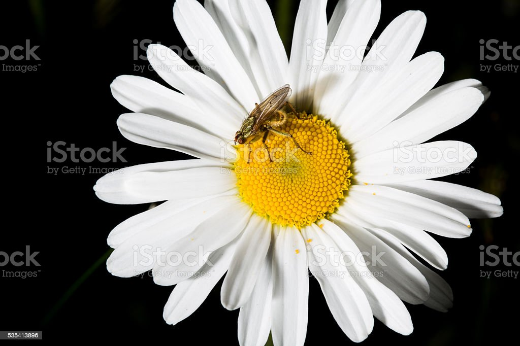 Small yellow dung fly on big daisy stock photo
