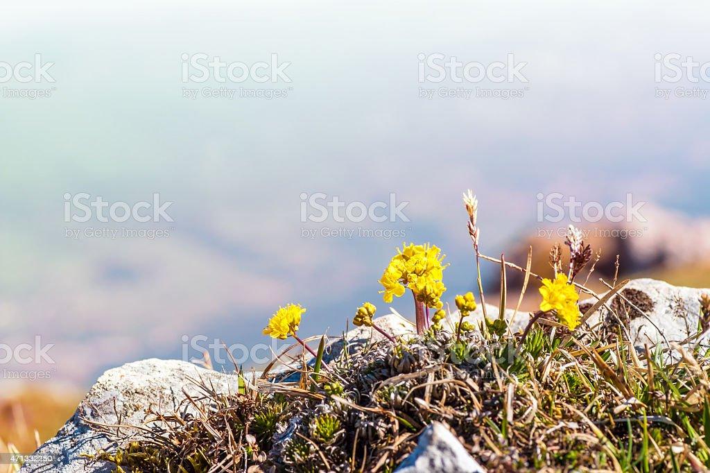 Small yellow flower on altitude mountain peak in spring season stock photo