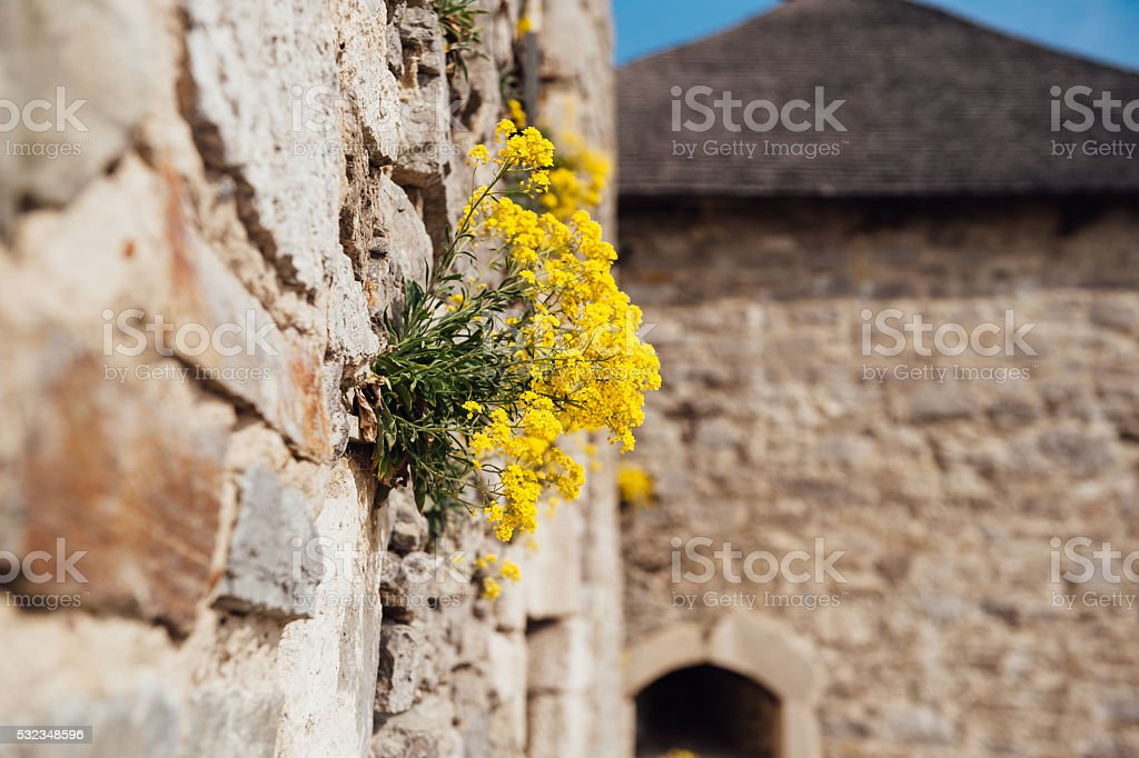 small yellow flowers on a medieval wall stock photo
