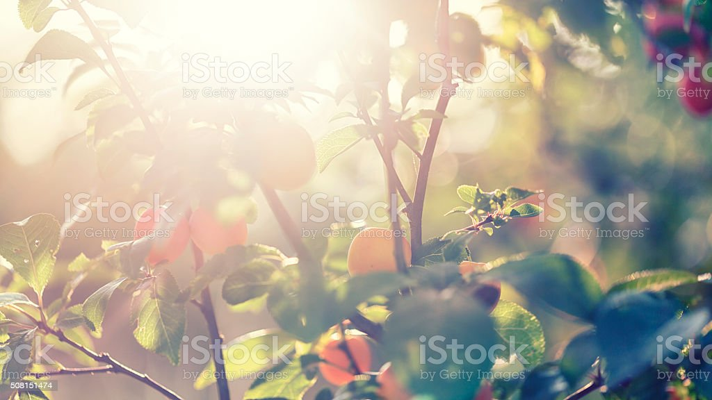 small yellow plums / Mirabelle stock photo