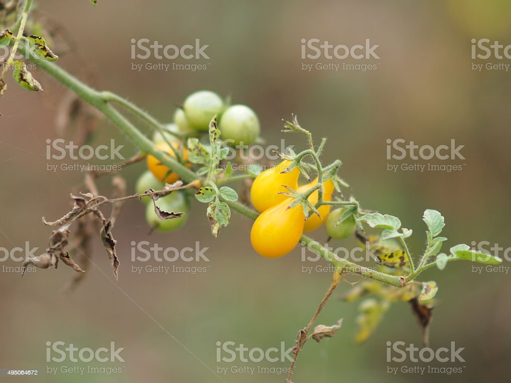 Small yellow tomato stock photo