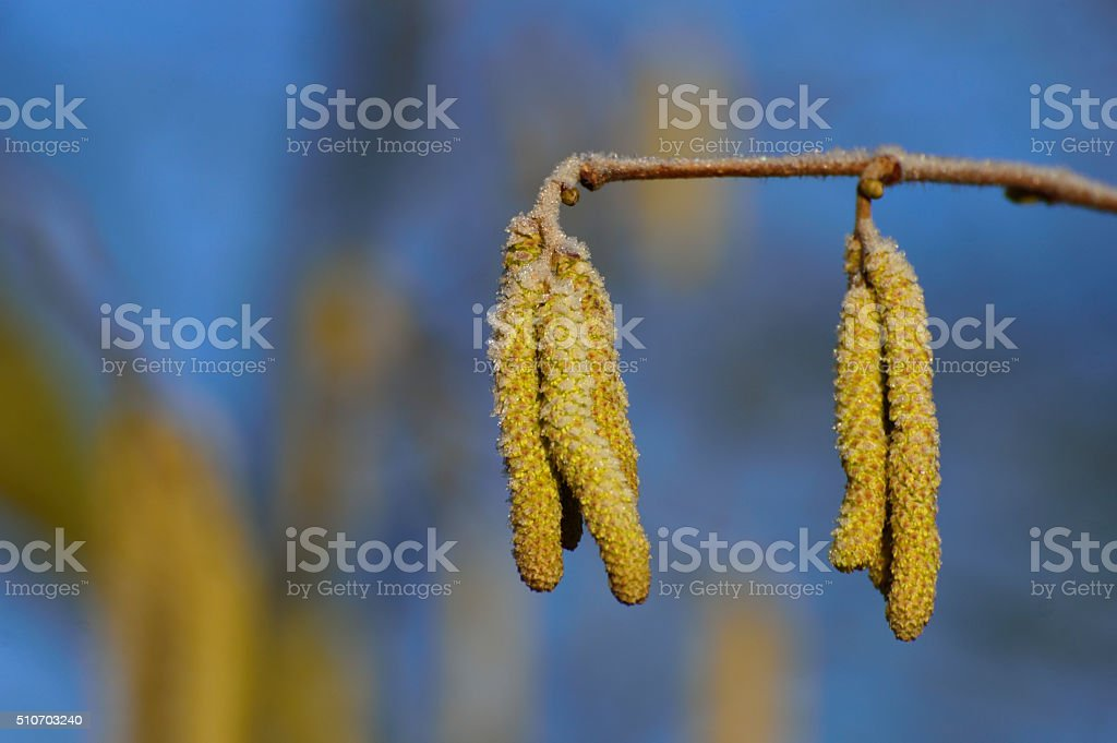 Small yellow twig Hazel spring on a frosty morning stock photo