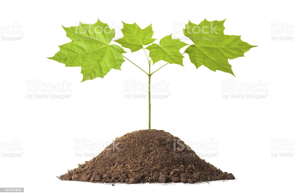 Small young maple royalty-free stock photo