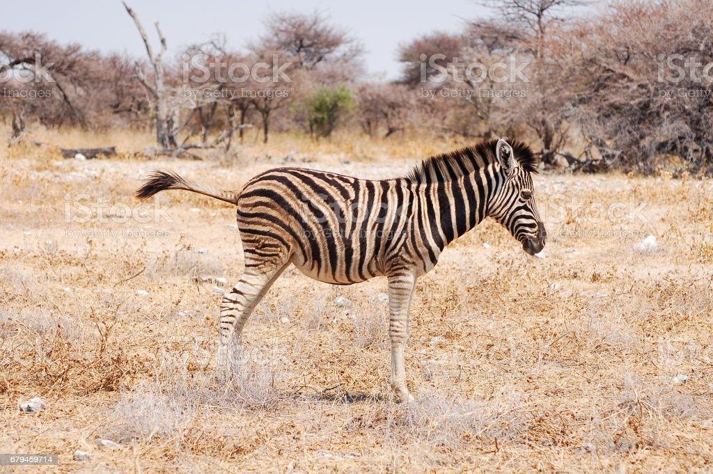 Small Zebra in the Etosha National Park in Namibia stock photo