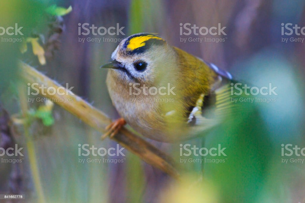 smallest bird of Europe among thickets stock photo