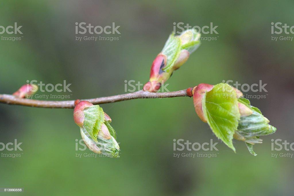 Small-leaved lime (Tilia cordata) stock photo