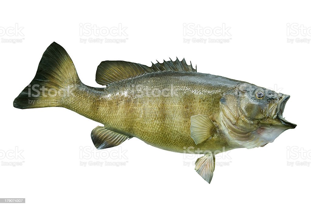 Smallmouth bass isolated on white royalty-free stock photo