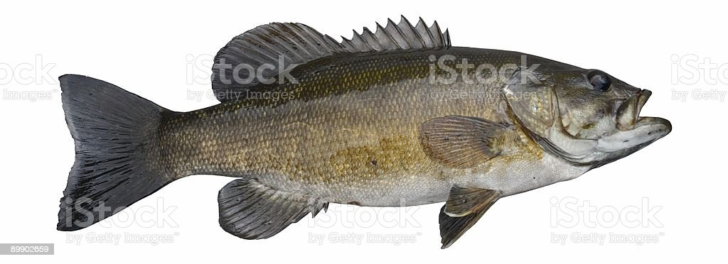Smallmouth Bass royalty-free stock photo