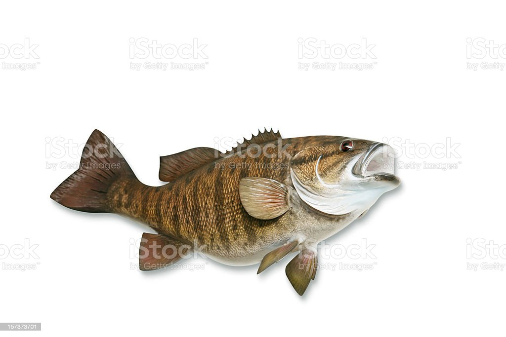 Smallmouth Bass with Clipping Path royalty-free stock photo