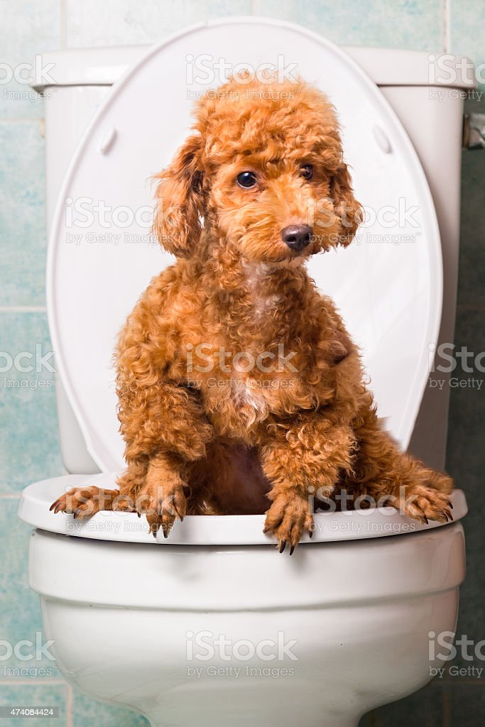 Smart brown poodle dog pooping into toilet bowl stock photo