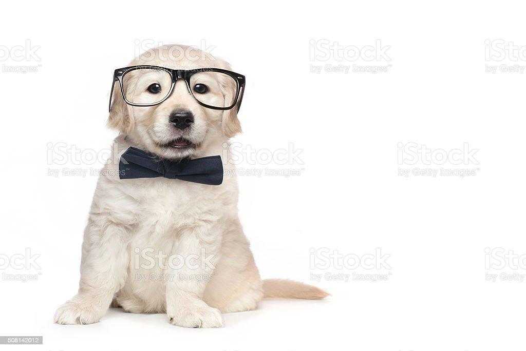 Smart Elegant Golden Retriever Puppies stock photo