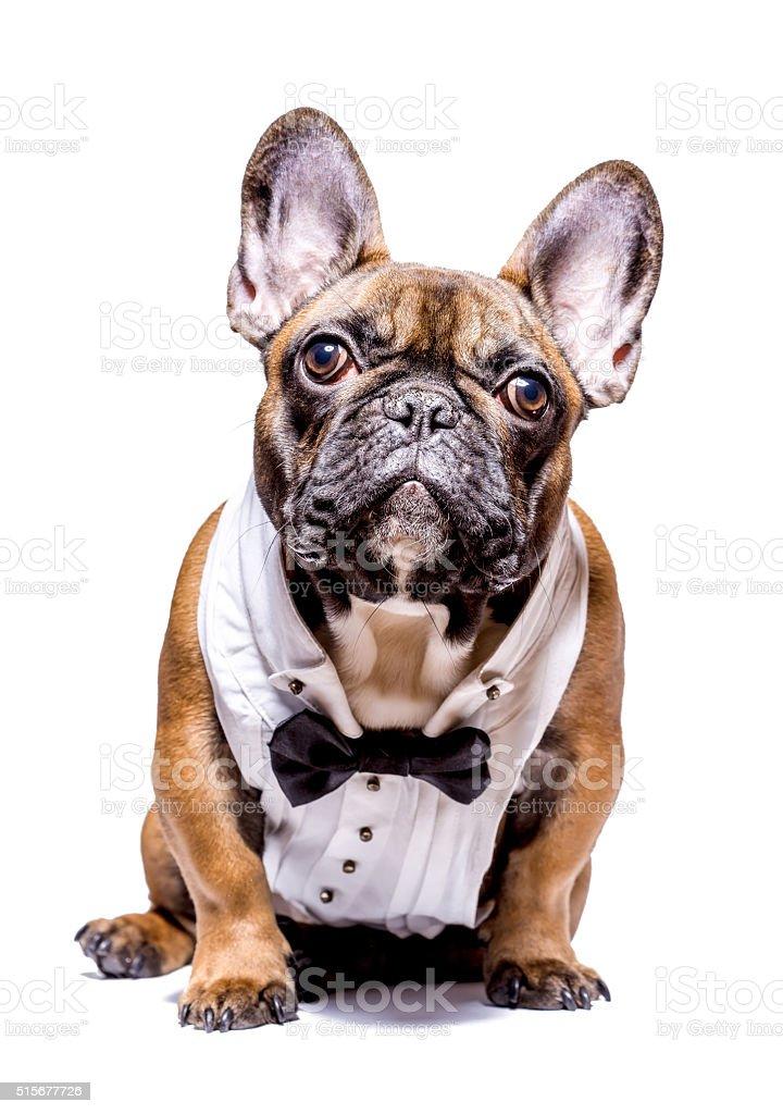 Smart french bulldog stock photo