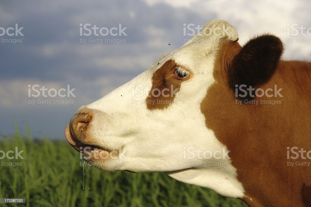 Smart looking cow royalty-free stock photo