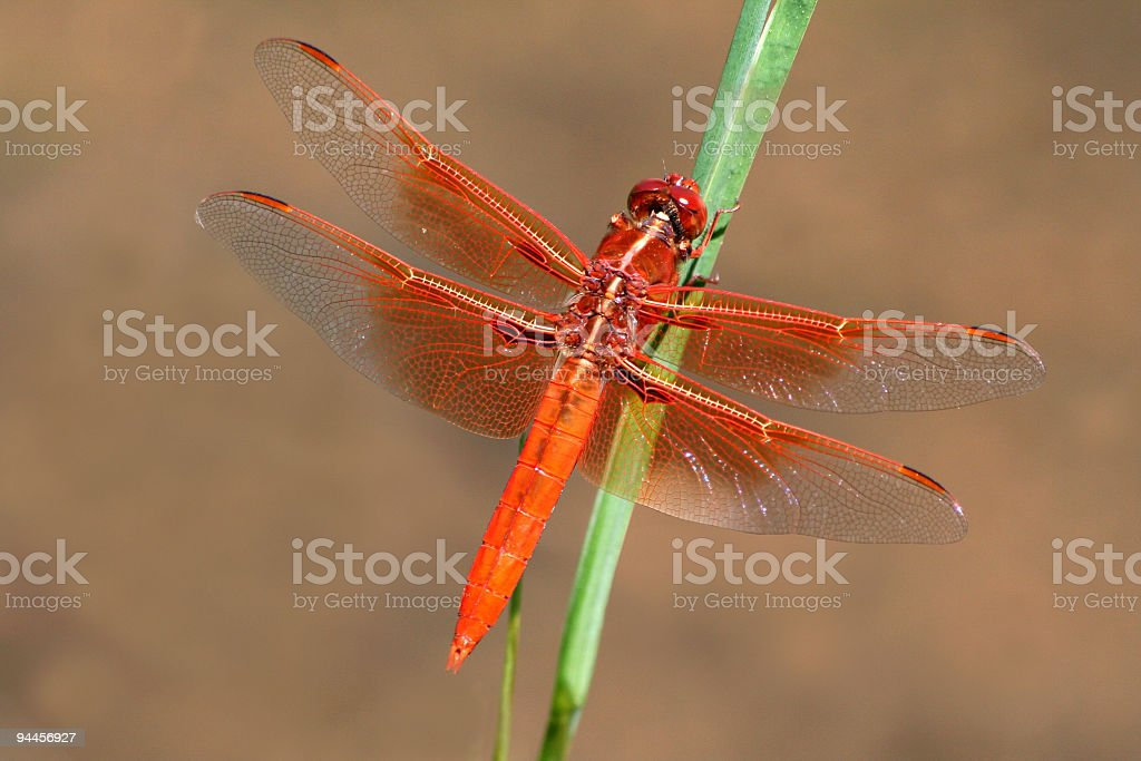 Smaug - The Red Dragon-fly royalty-free stock photo