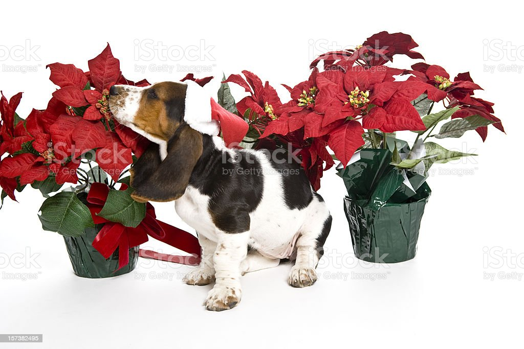 Smelling Poinsettias stock photo