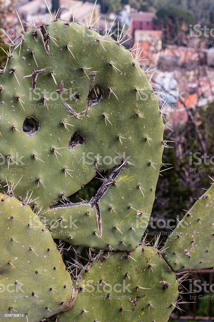 Smile Opuntia ficus-indica stock photo