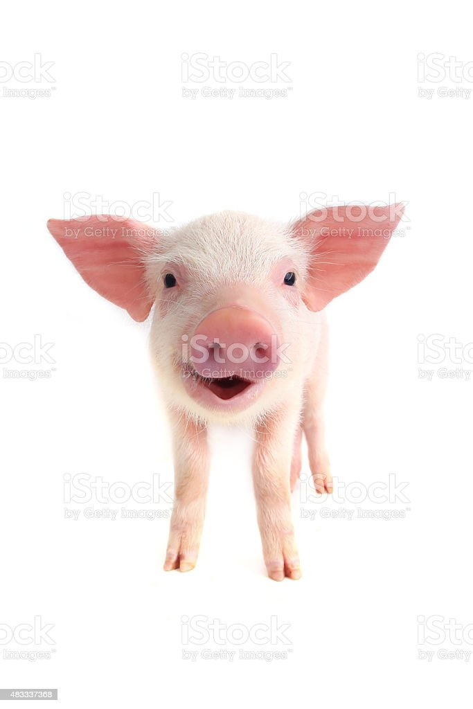 smile pig stock photo