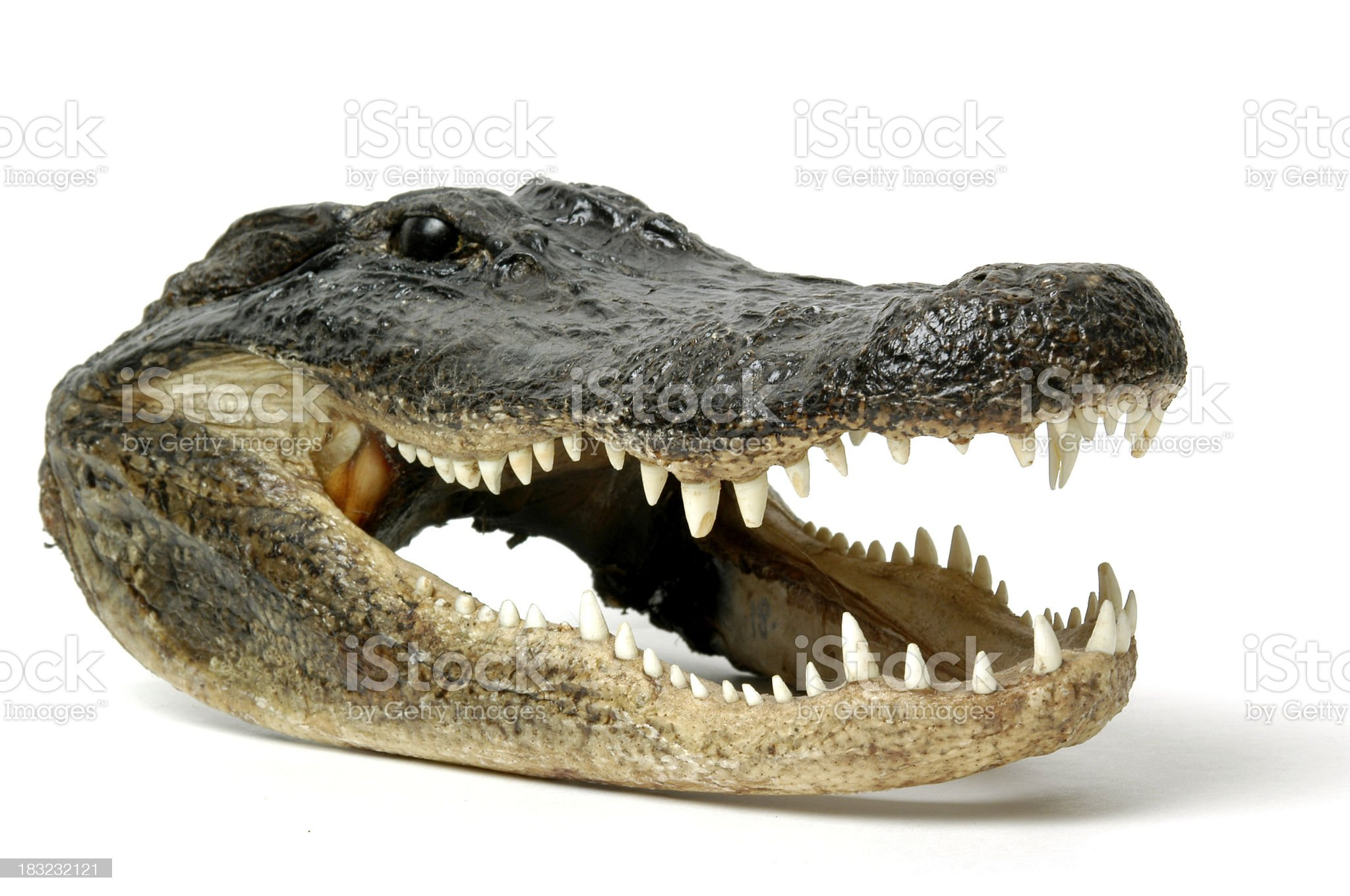Smiling Alligator royalty-free stock photo