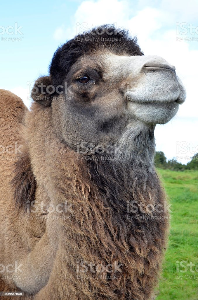 Smiling Bactrian Camel Portrait stock photo