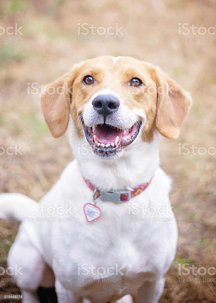 Smiling Beagle Mix stock photo