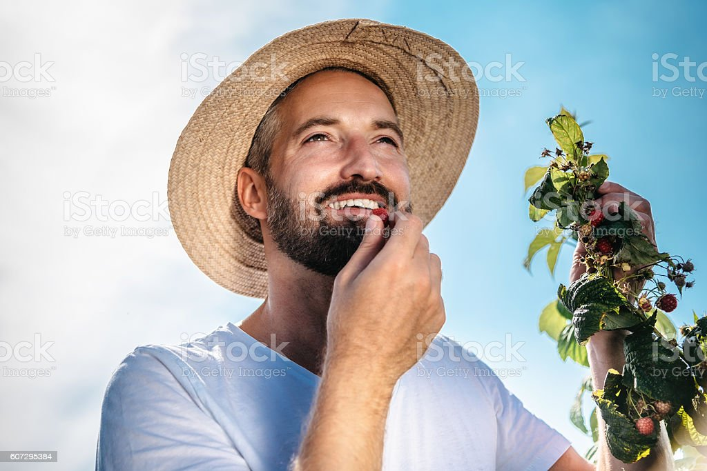 smiling bearded handsome gardener eating raspberry from bush stock photo