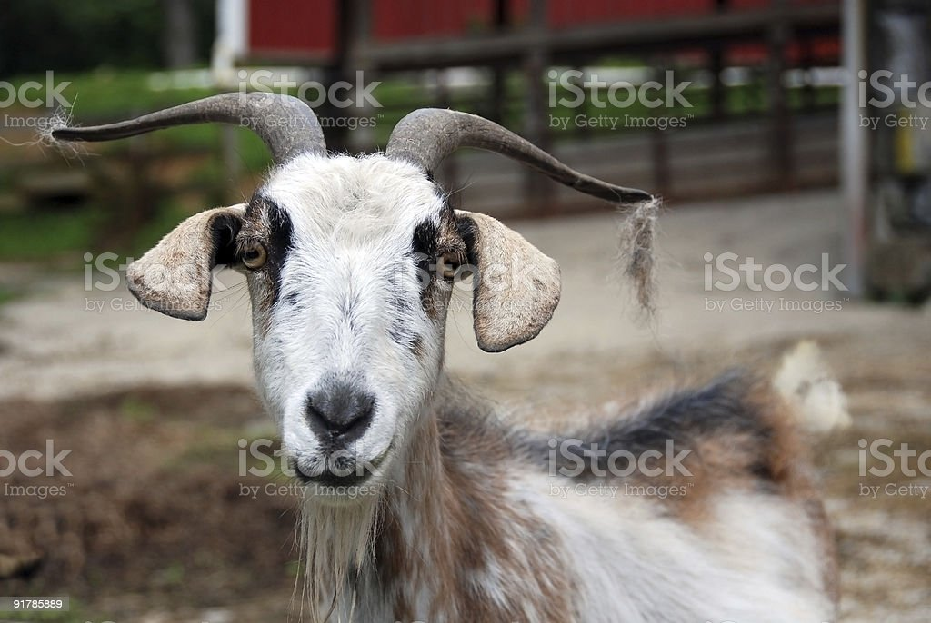 Smiling Billy Goat royalty-free stock photo