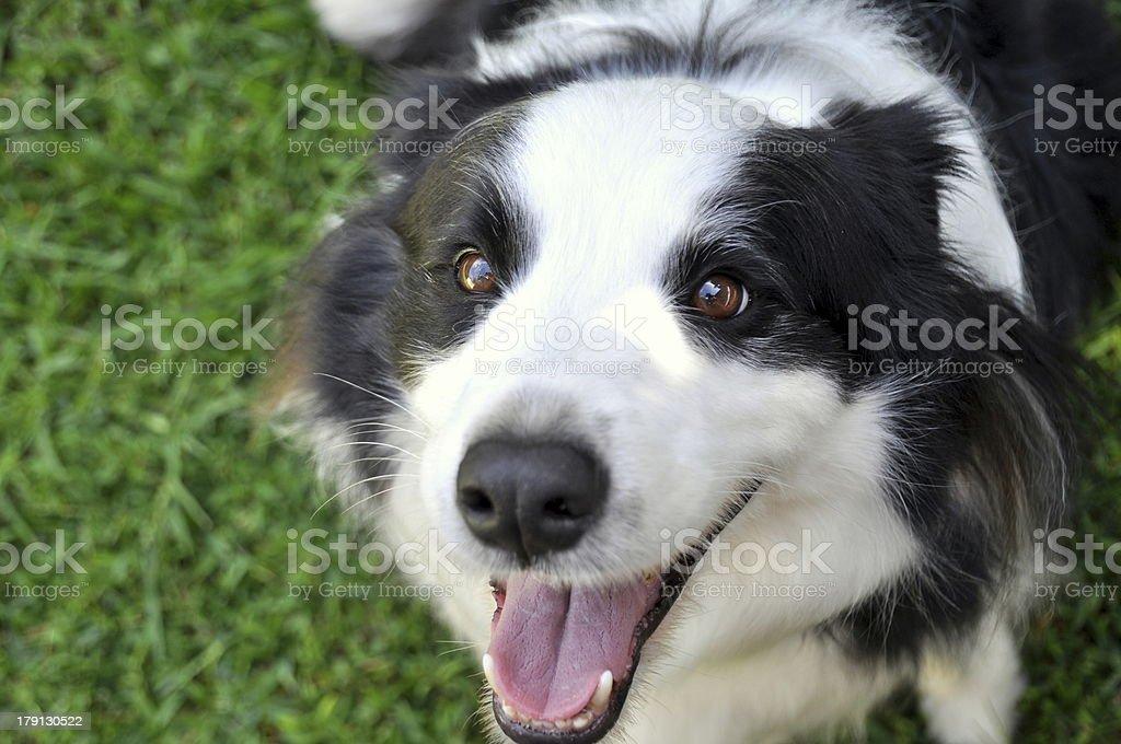 Smiling Border Collie Dog royalty-free stock photo