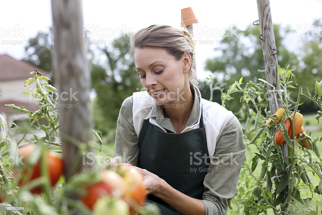 Smiling brunette woman picking up tomatoes royalty-free stock photo
