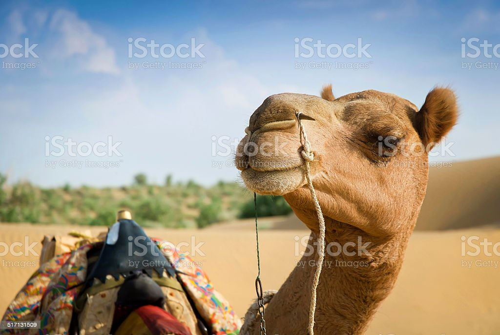Smiling camel looking in lens. Soft focus stock photo