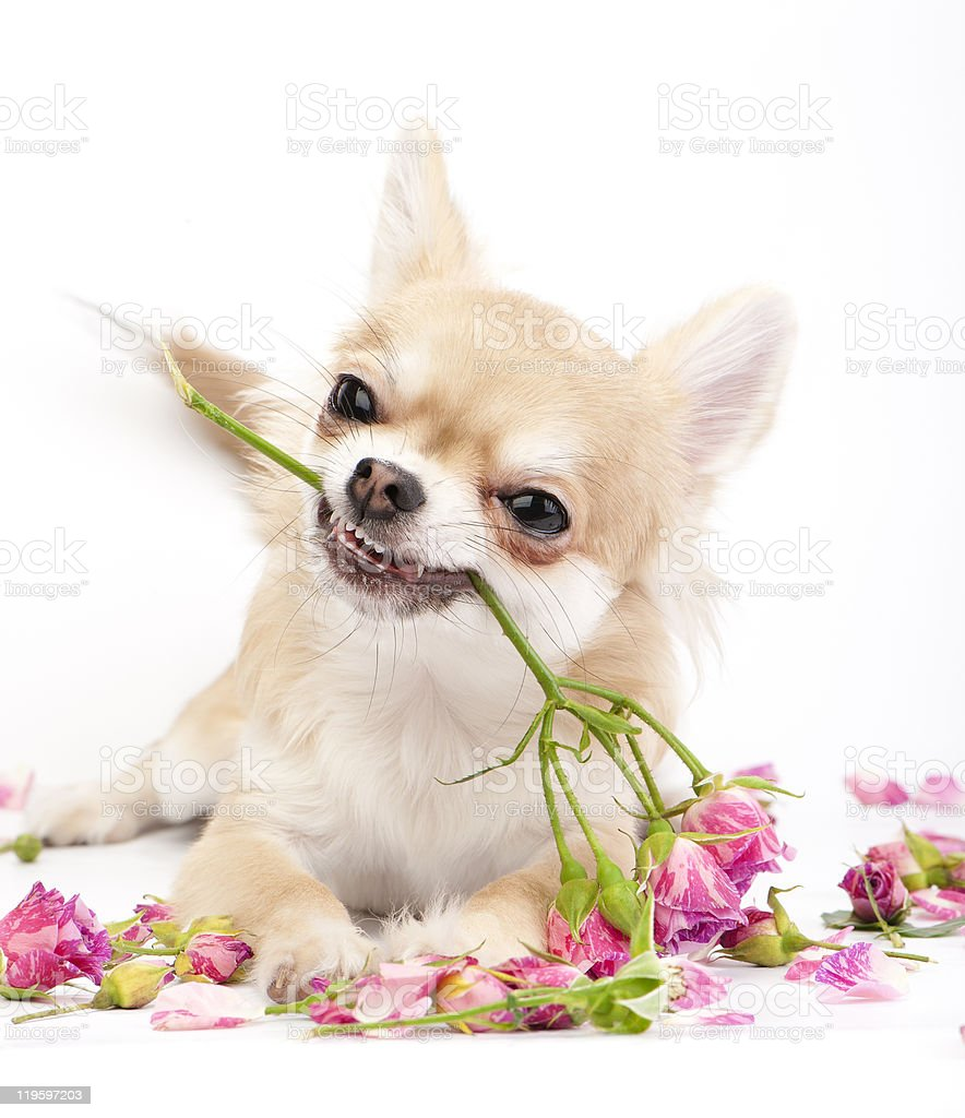 Smiling Chihuahua puppy giving pink roses royalty-free stock photo