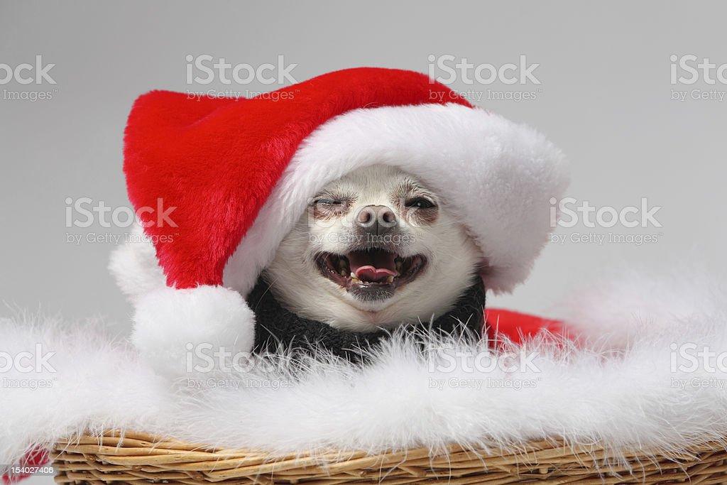 smiling christmas dog royalty-free stock photo