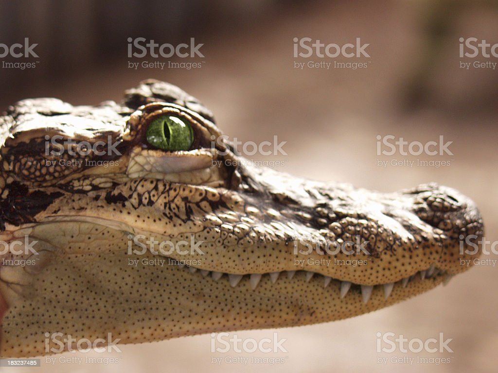 Smiling Crocodile stock photo